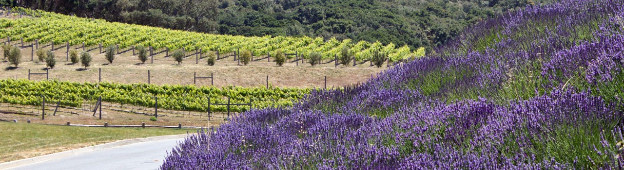 lavender_vineyard