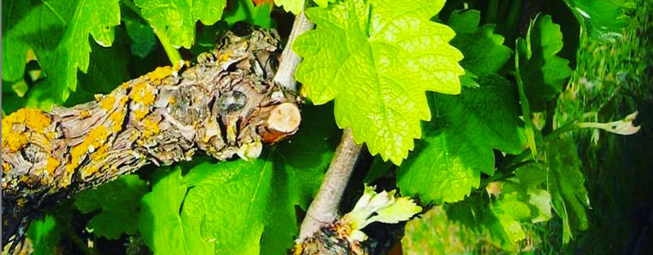 Bunter-Spring_grape-vine+leaves_1280x500_72ppi
